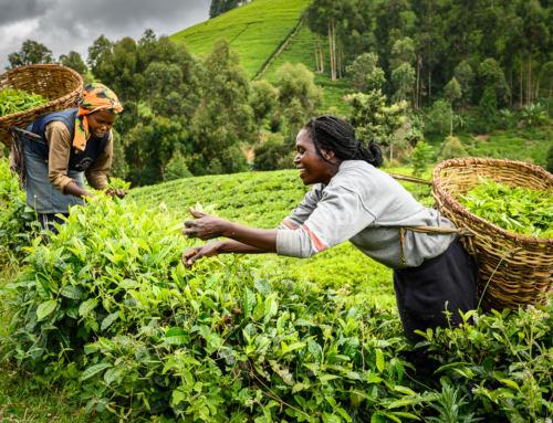 VIDEO: Za výběrovým čajem do Keni